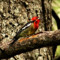 Red-breasted Sapsucker thumbnail
