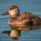 North American Ruddy Duck, Arcata Marsh, 2014 January thumbnail
