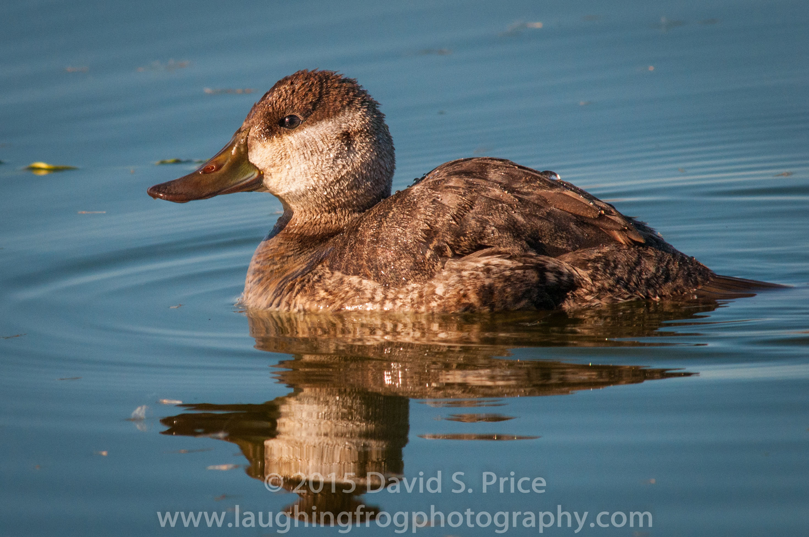 North American Ruddy Duck, Arcata Marsh, 2014 January