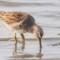 Short-billed Dowitcher, Arcata Marsh, 2014 February thumbnail