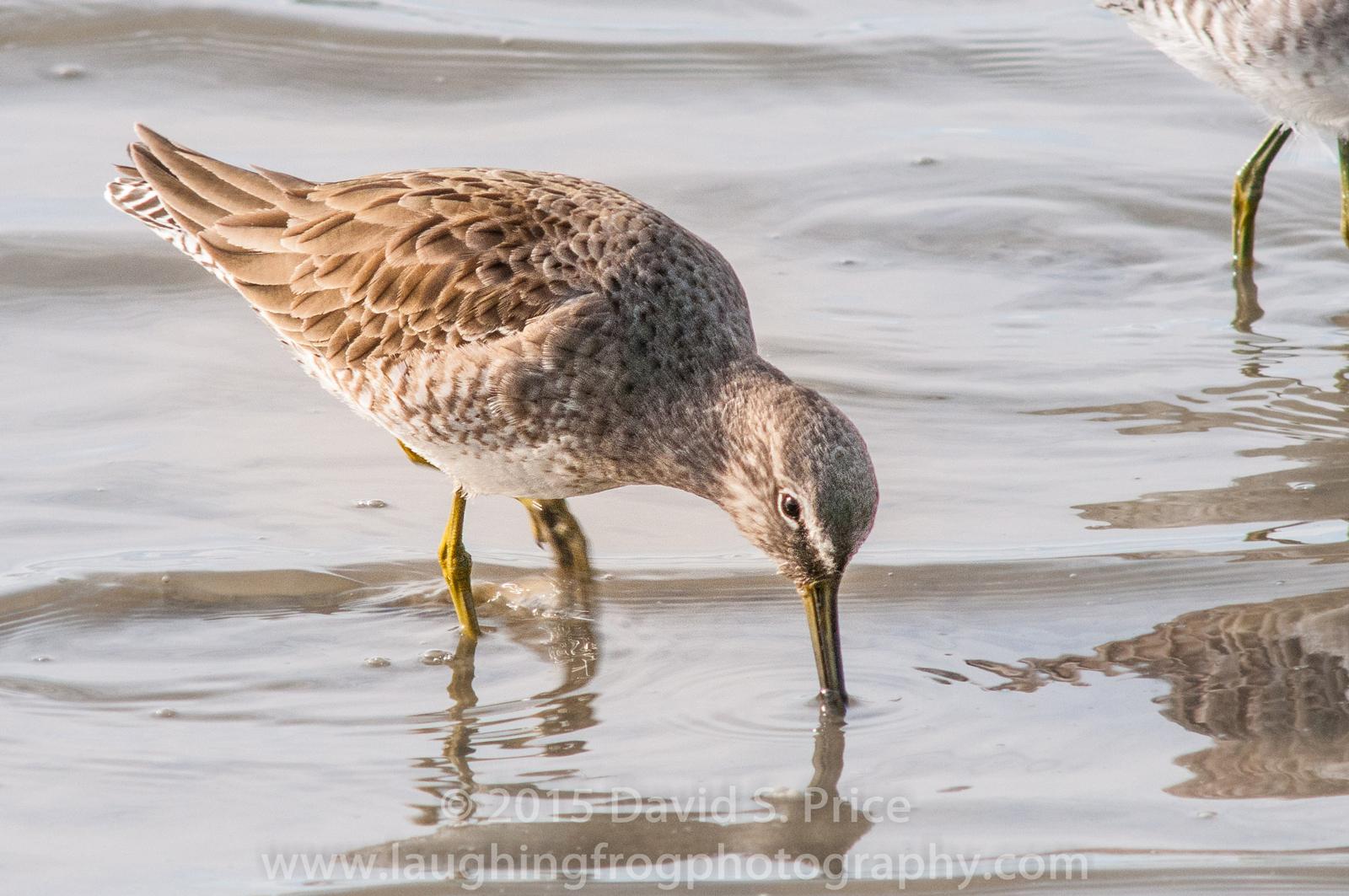 Short-billed Dowitcher, Arcata Marsh, 2014 February