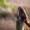 Short-ear Owl thumbnail