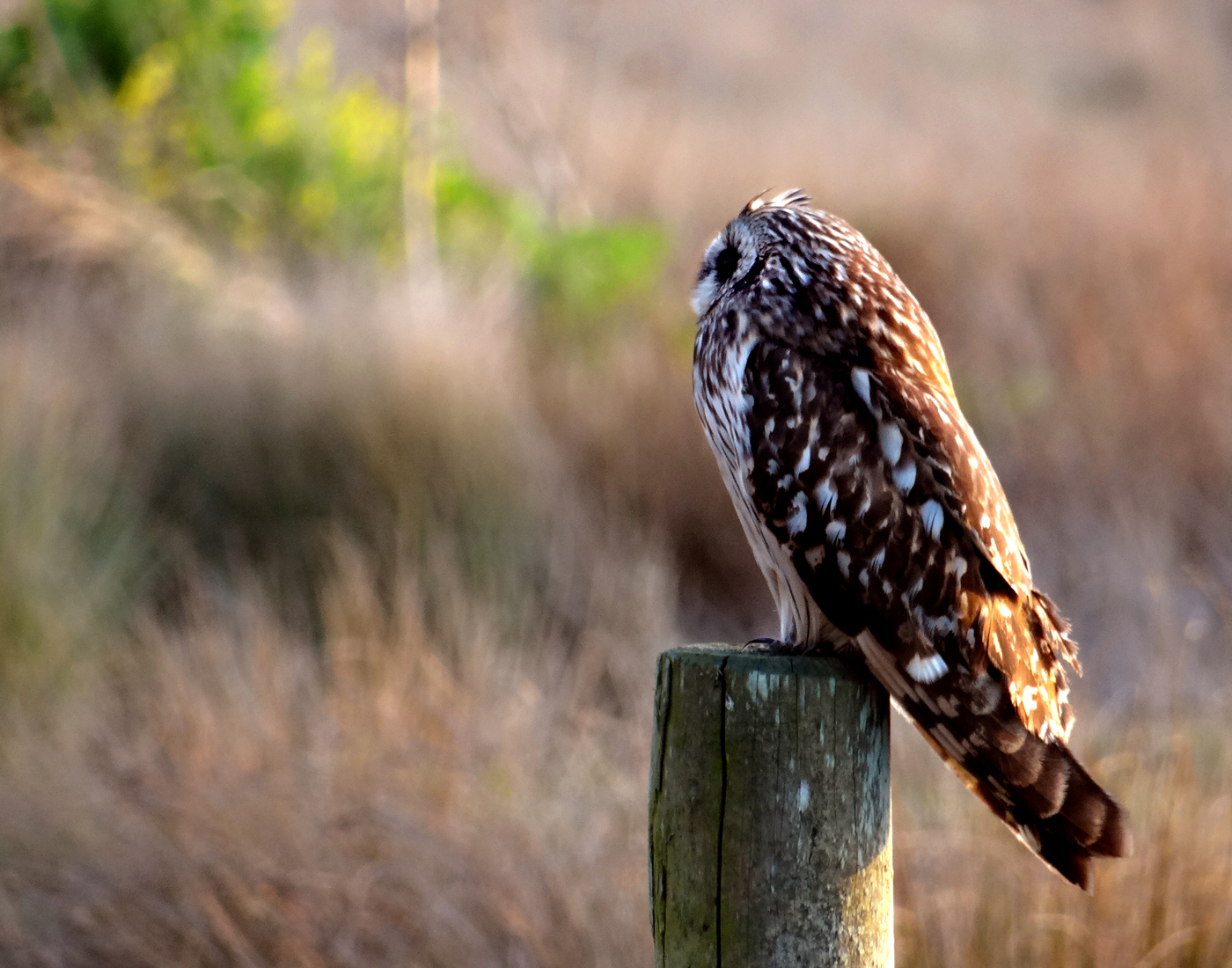 Short-ear Owl