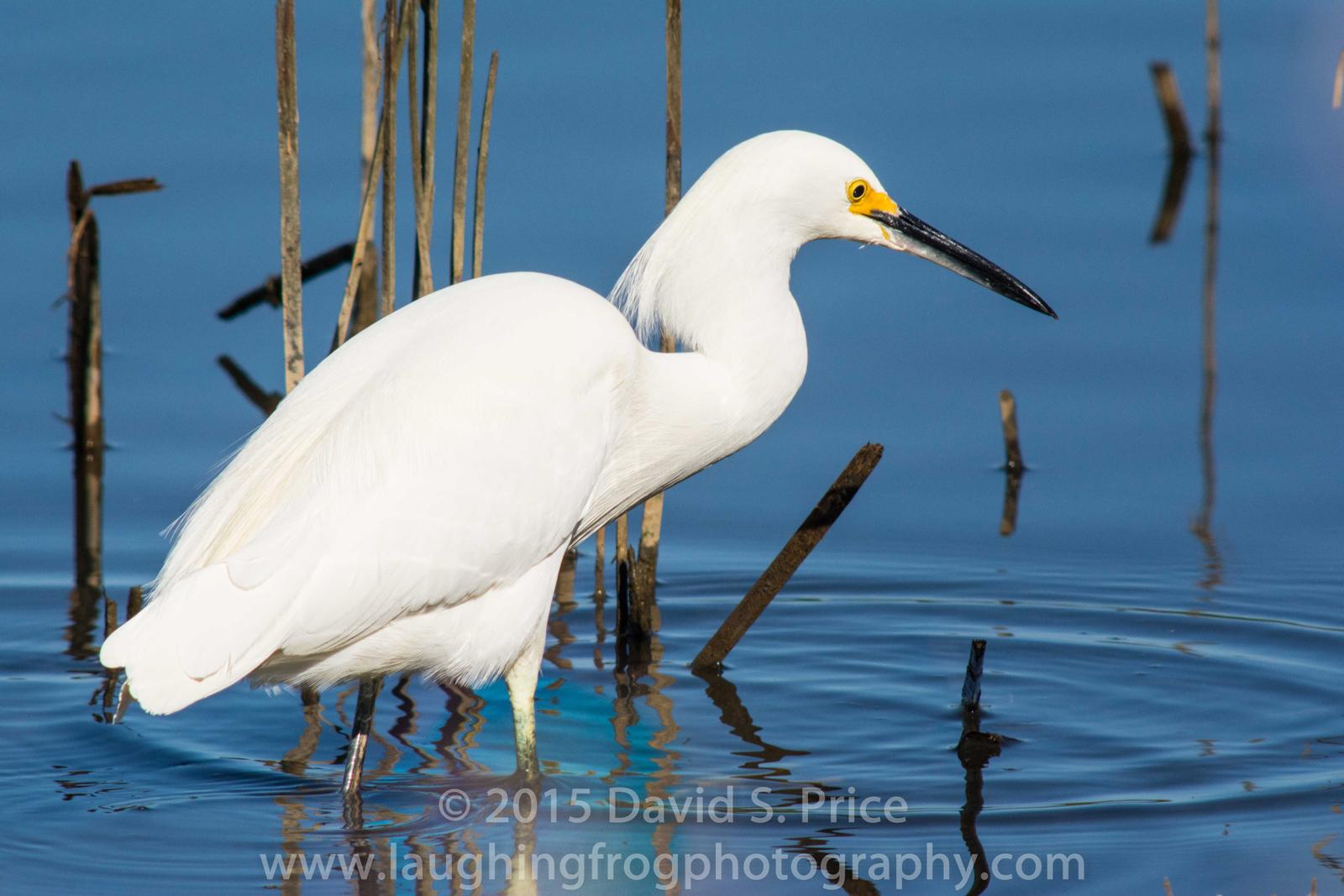 Snowy Egret, Arcata Marsh, 2015 March