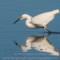 Snowy Egret, Arcata Marsh, 2015 March thumbnail