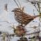 Song Sparrow, Humboldt, 2014 February thumbnail
