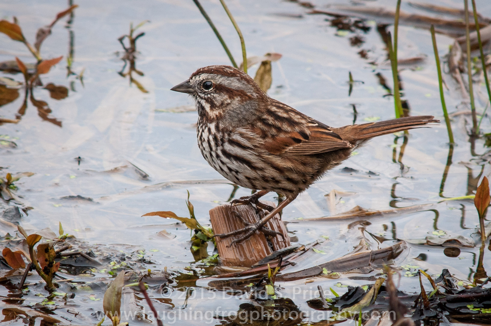Song Sparrow, Humboldt, 2014 February