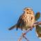 Song Sparrow, Arcata Marsh, 2015 March thumbnail