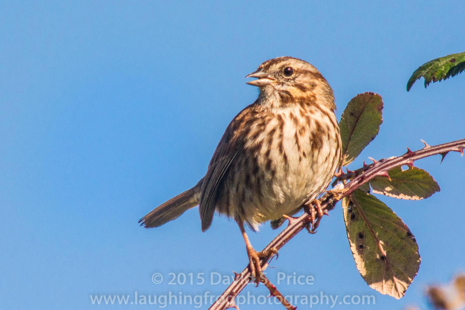 Song Sparrow, Arcata Marsh, 2015 March