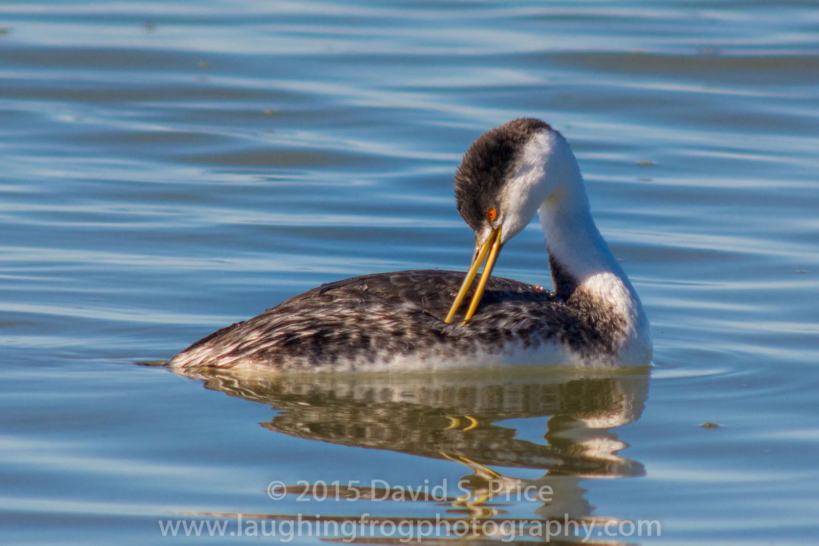 Clark's/Western Grebe, Arcata Marsh, 2015 March