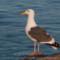 Western Gull, Samoa,  2011 January thumbnail