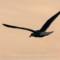 Western Gull,  Humboldt, 2012 January thumbnail