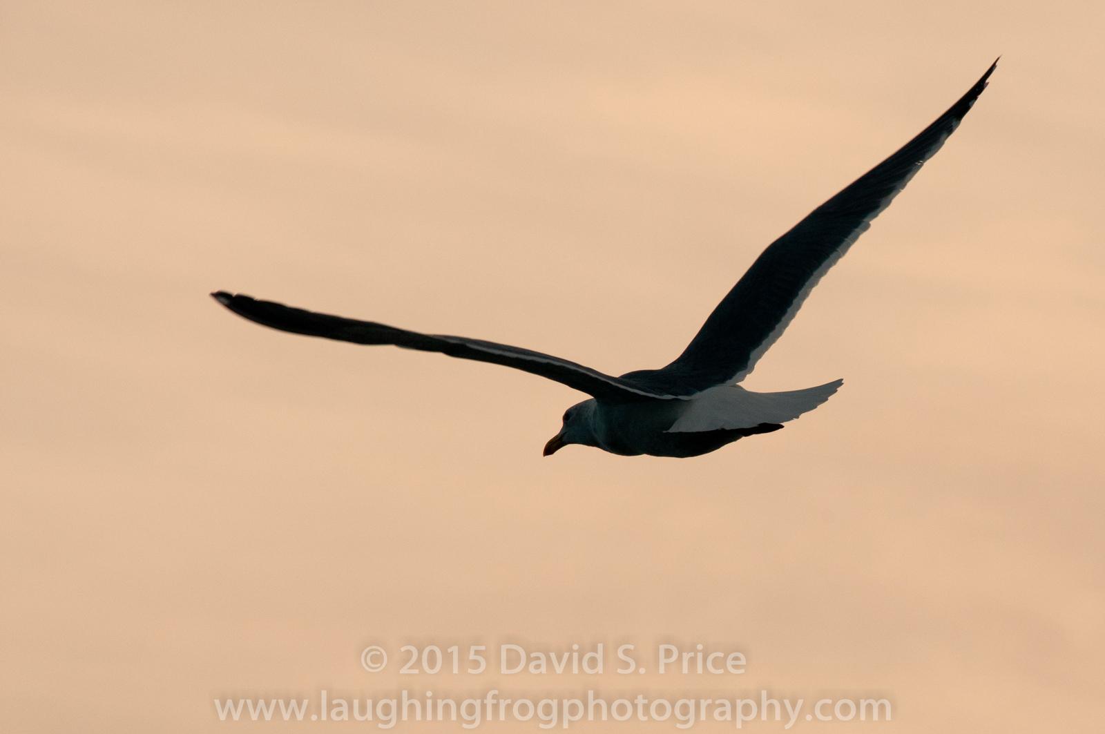 Western Gull,  Humboldt, 2012 January