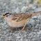 White-crowned Sparrow, HBWR, 2015 January thumbnail