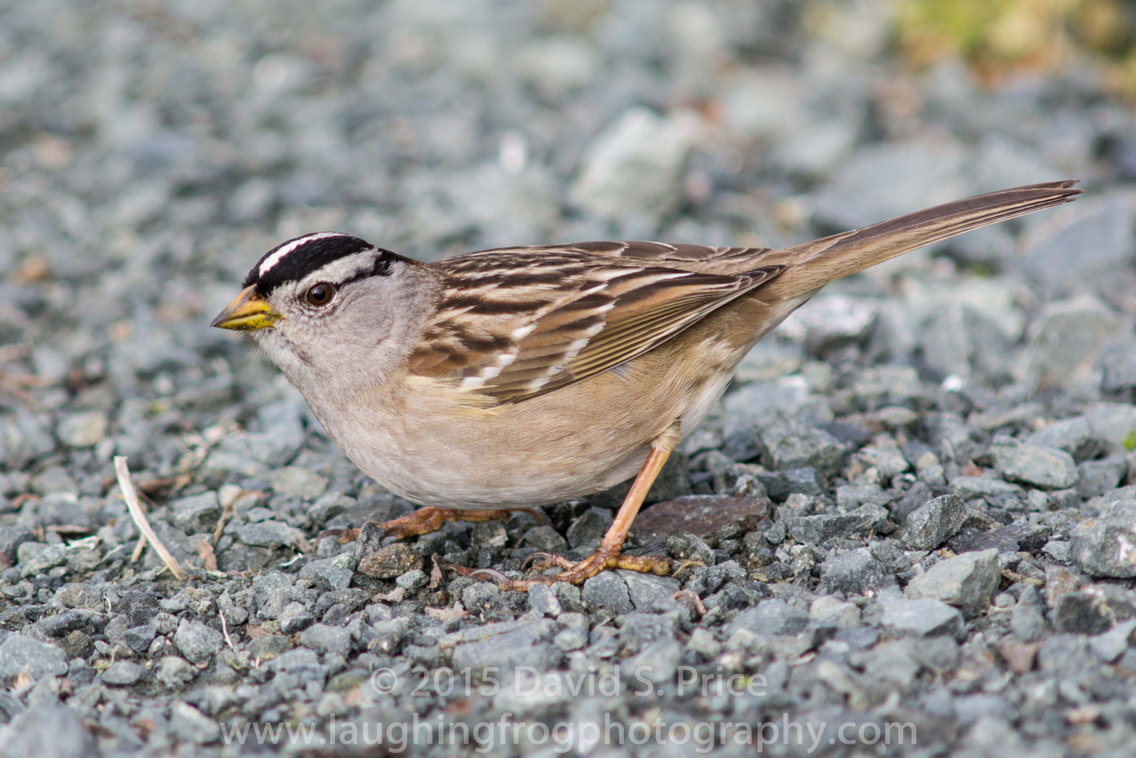 White-crowned Sparrow, HBWR, 2015 January