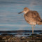 Willet at Fields Landing, 2014 January thumbnail