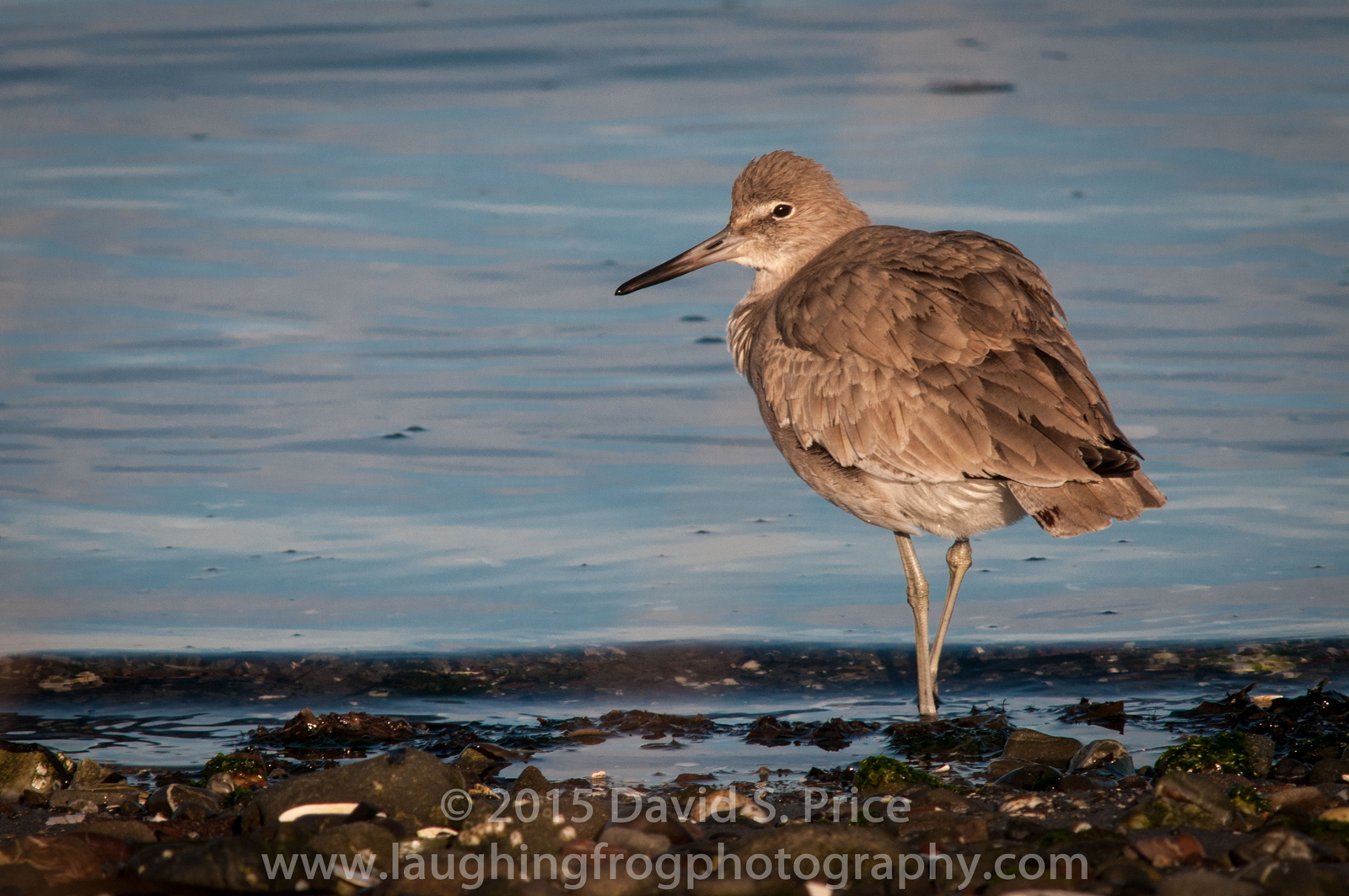 Willet at Fields Landing, 2014 January