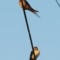 Barn Swallows - VSt thumbnail