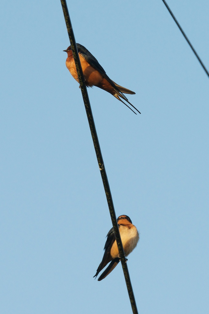 Barn Swallows - VSt