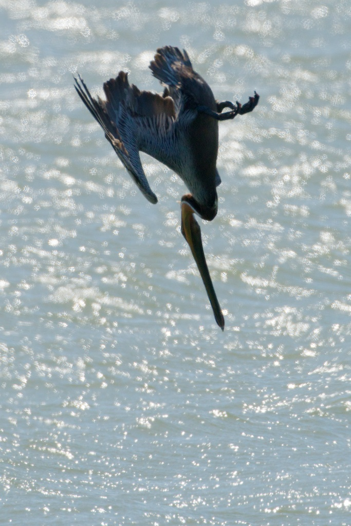 Brown Pelican - King Salmon