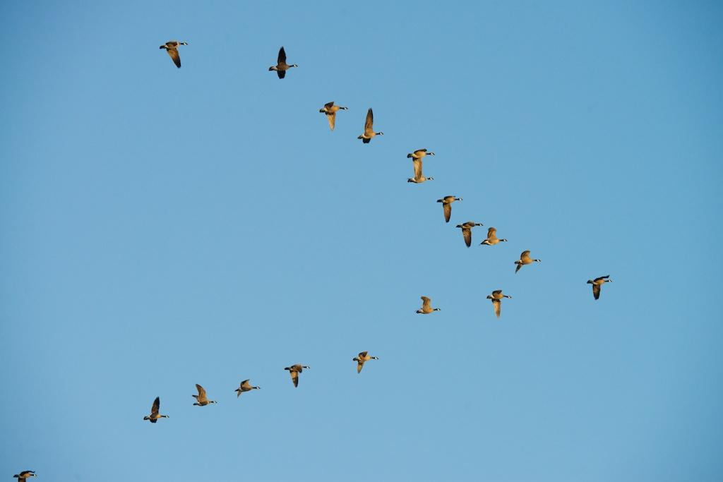 Cackling Geese - VSt