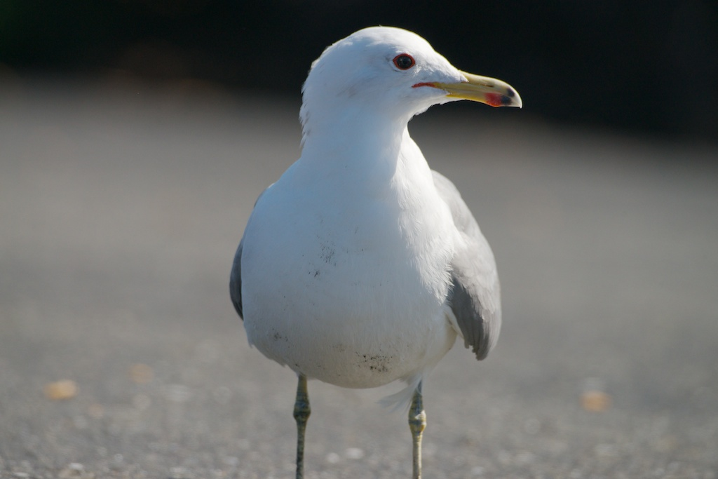 California Gull at Woodley Island