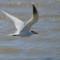 Caspian Tern - Elk River thumbnail
