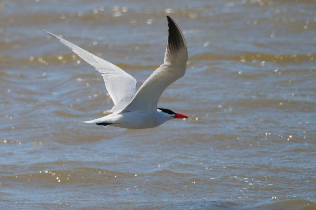 Caspian Tern - Elk River