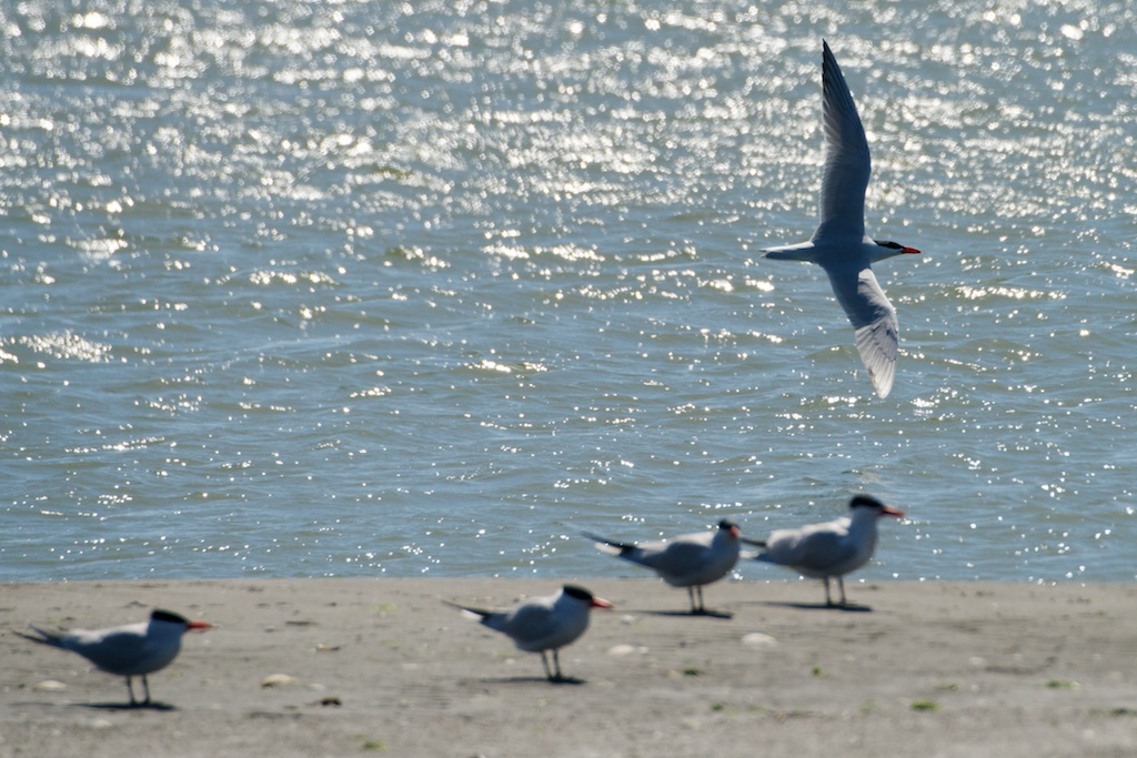 Caspian Terns - King Salmon