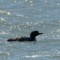 Common Loon - KingSalmon thumbnail