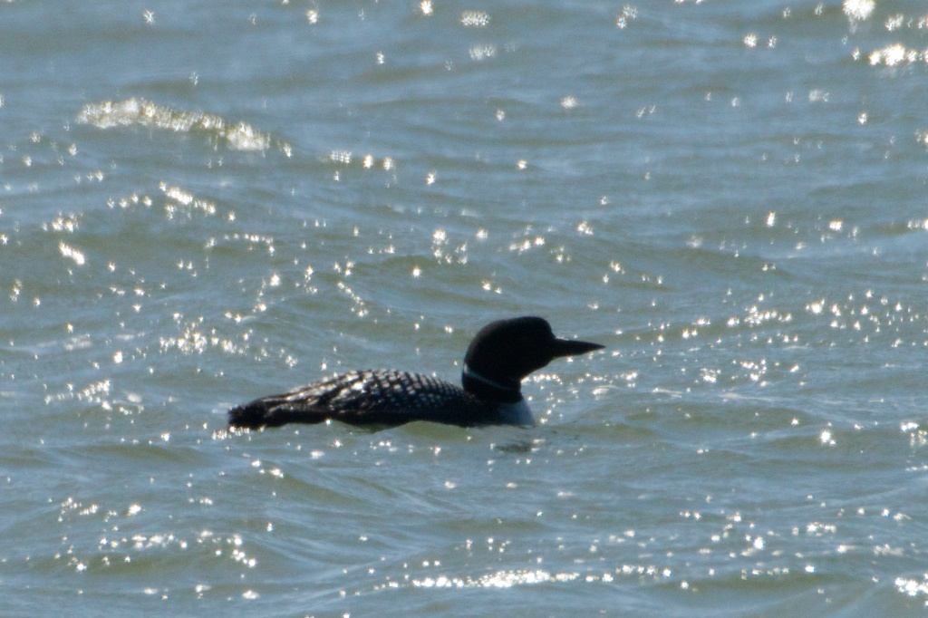 Common Loon - KingSalmon