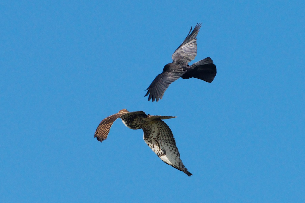 Crow, Red-Tail Hawk - Woodley Island