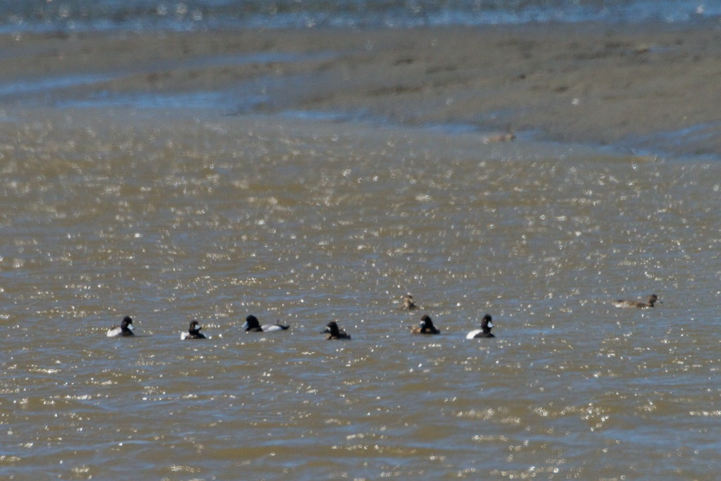 Greater Scaups - Elk River