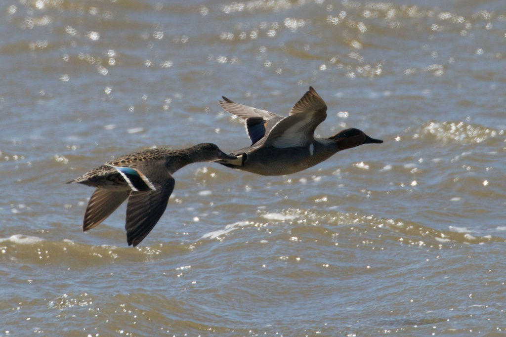Green-Winged Teals - Elk River