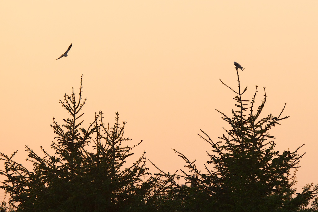 Kites Roosting - VSt