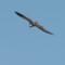 Osprey - Woodley Island thumbnail