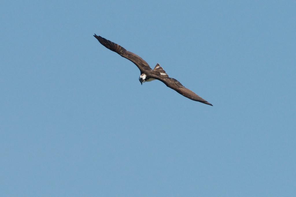 Osprey - Woodley Island