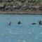 Pelicans - Del Norte St thumbnail
