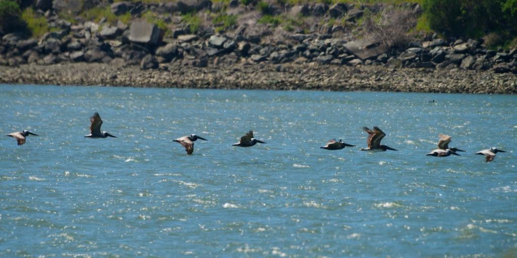Pelicans - Del Norte St