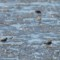 Piping Plovers - Del Norte St thumbnail
