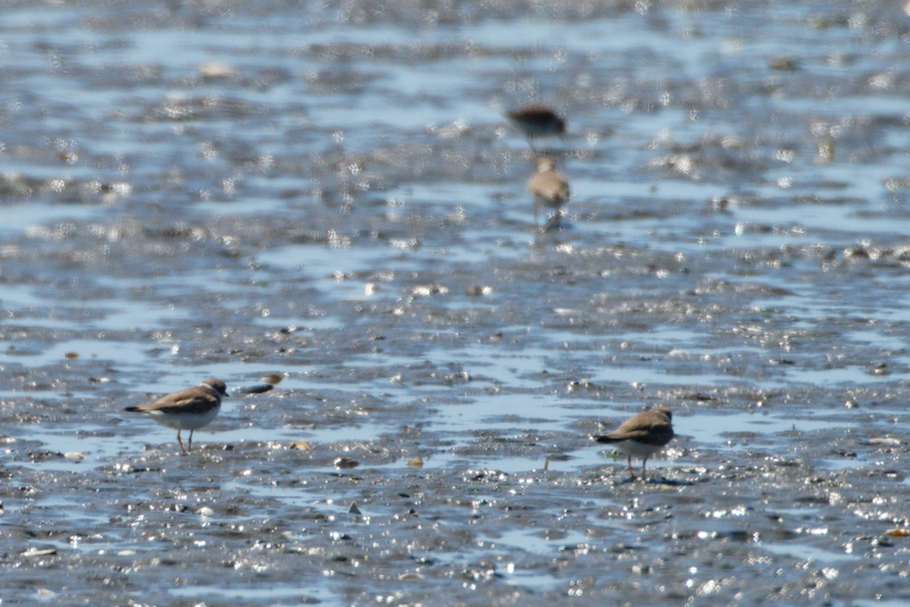 Piping Plovers - Del Norte St