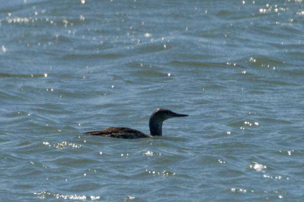 Red-throated Loon - King Salmon