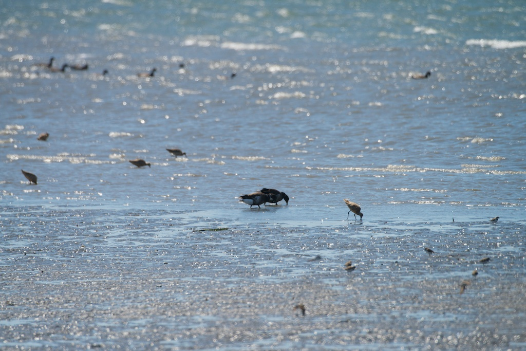 Shorebirds Brants - Del Norte St