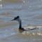 Western Grebe - Elk River thumbnail