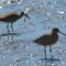 Whimbrel and Godwit - Del Norte St thumbnail
