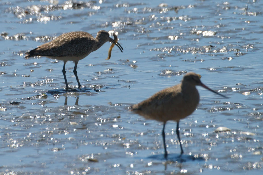 Whimbrel and Godwit - Del Norte St