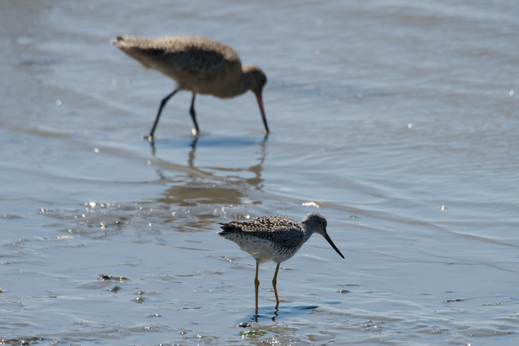 Yellowlegs and Godwit - Del Norte St