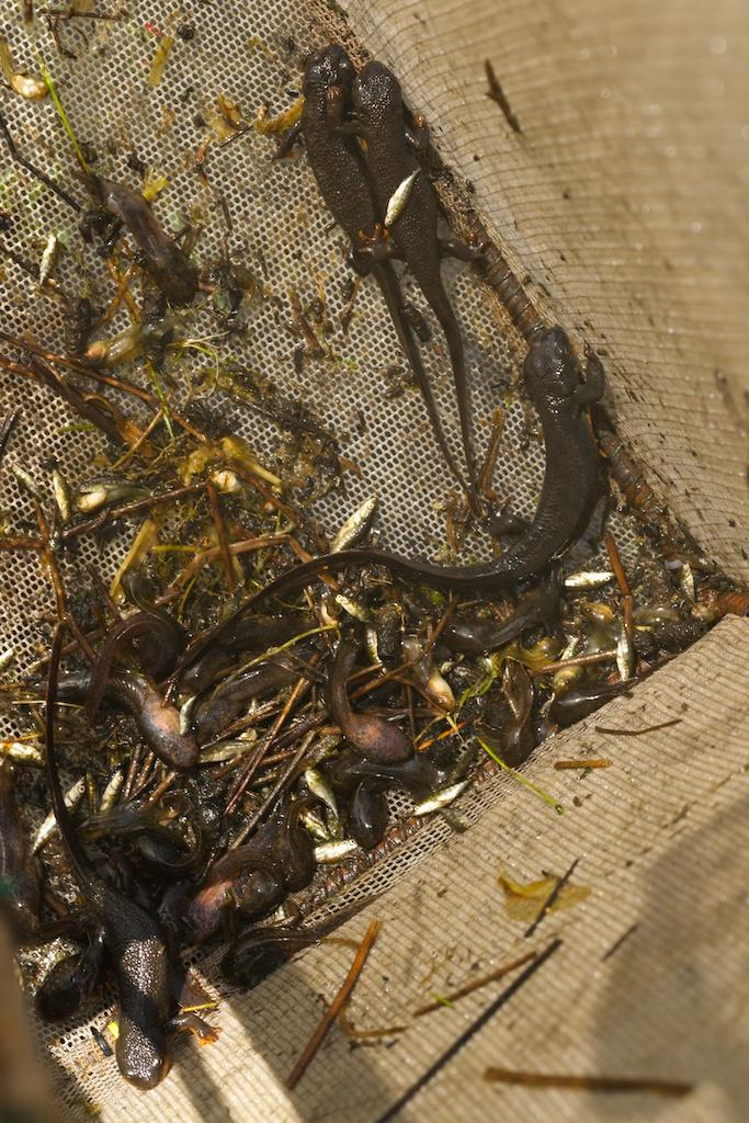 amphibian trap