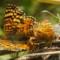 butterflies mating thumbnail
