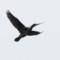 cormorant nesting thumbnail